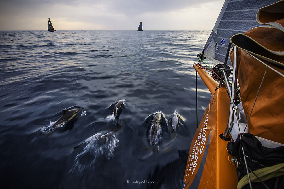 June 8, 2015. Leg 8 to Lorient onboard Team Alvimedica. Day 1. A group of Portuguese dolphin blow off some early morning energy in the water between Alvimedica, Brunel, and Abu Dhabi. A tricky night of choices, most notably whether to sail north inshore along the coast or further offshore to the west, was made tougher by persistently light conditions and clouds.